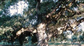 Του Αλιά το δέντρο